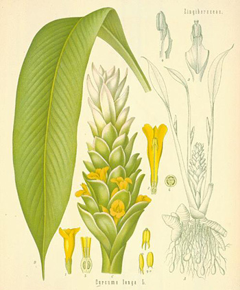 Botanic drawing of turmeric plant with roots and flower.